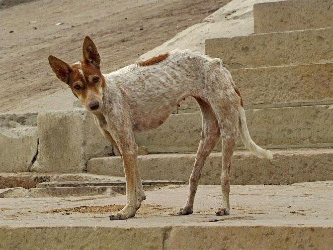 Собака в Варанаси, Индия