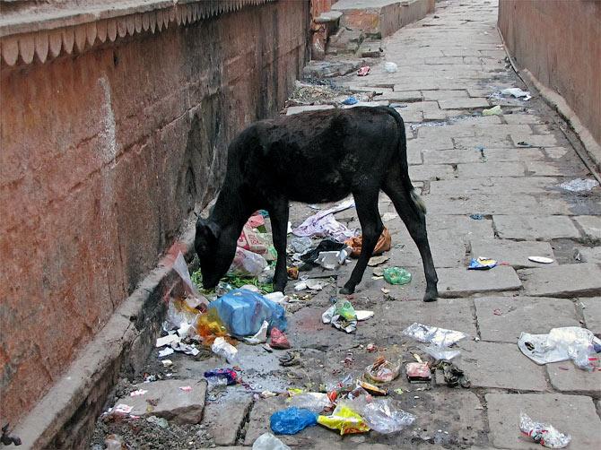 Корова на помойке в Варанаси, Индия
