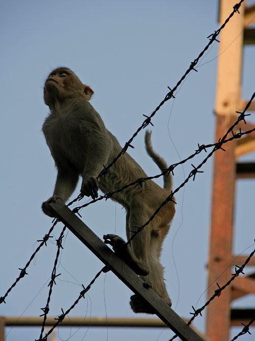 Обезьяна в Варанаси, Индия