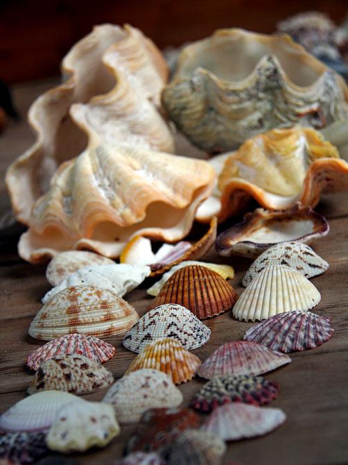 Плоские и волнистые ракушки, Индонезия