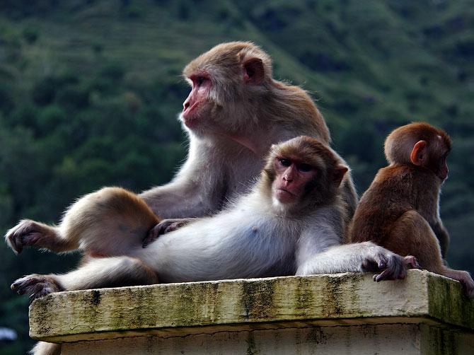 Обезьянье семество в Ревалсаре, Индия