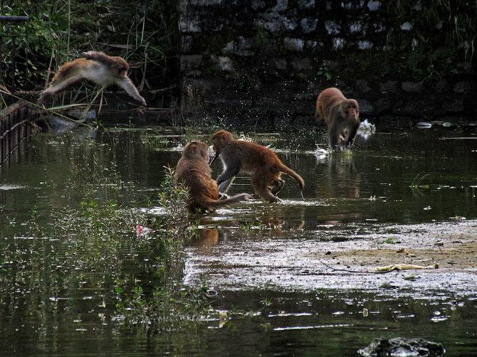 Обезьяны купаются в озере Ревалсар, Индия