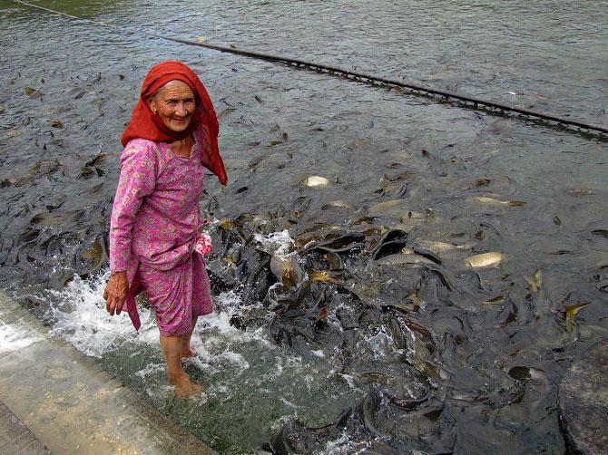 Пожилая женщина кормит священных карпов в озере Ревалсар, Индия