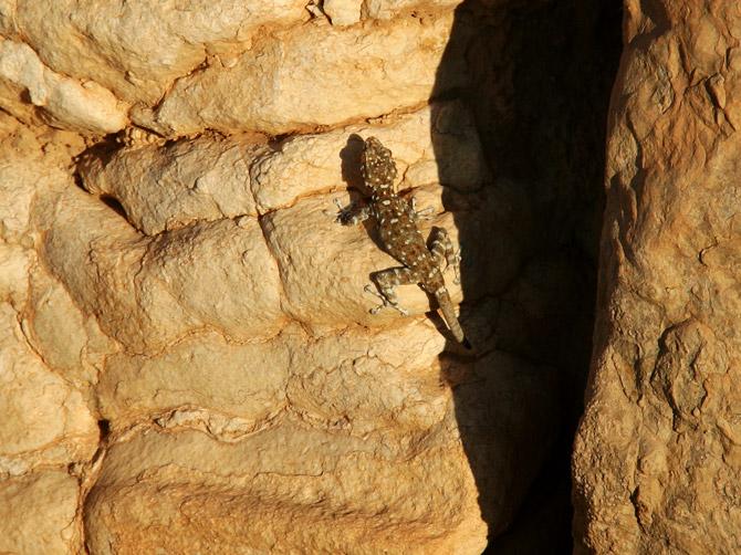 Геккон в руинах Пальмиры, Сирия