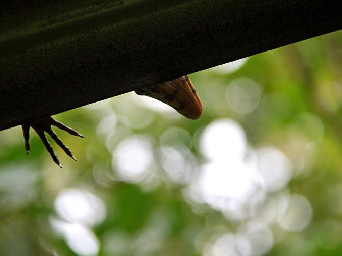 Лапа варана, остров Ве, Суматра, Индонезия