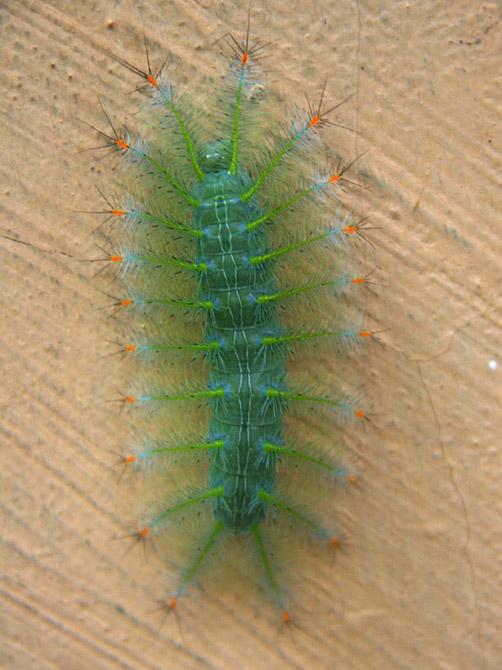Пестрая гусеница, остров Ве, Суматра, Индонезия