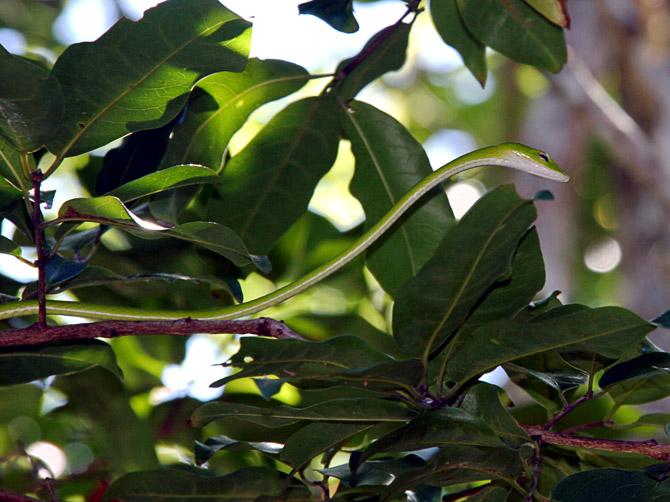Зеленая змея, остров Ве, Суматра, Индонезия