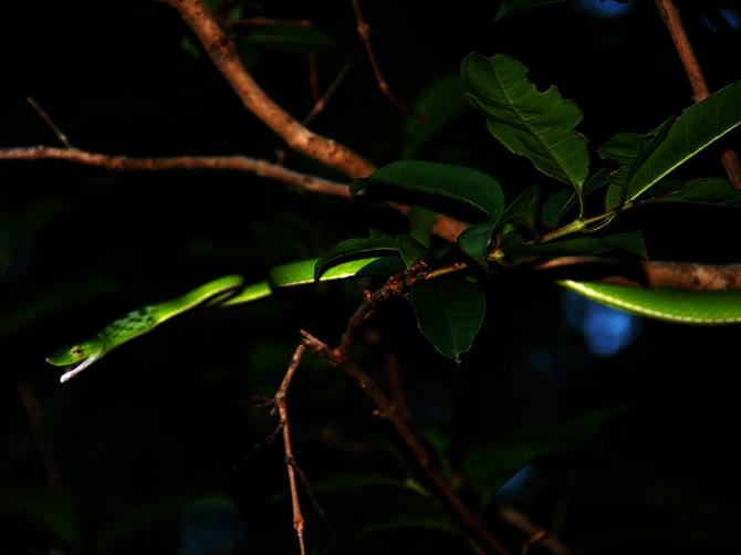 Древесная змея, остров Ве, Суматра, Индонезия