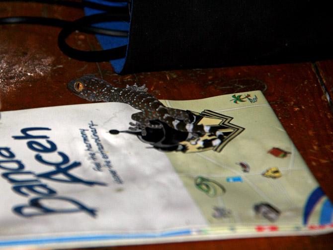 Маленький геккон, остров Ве, Суматра, Индонезия