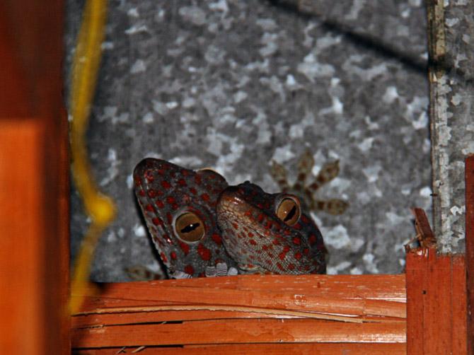 Пара гекконов, остров Ве, Суматра, Индонезия