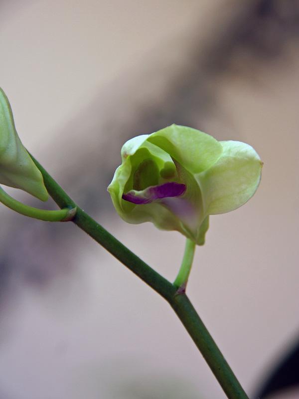 Свежераспустившийся цветок орхидеи, Таиланд