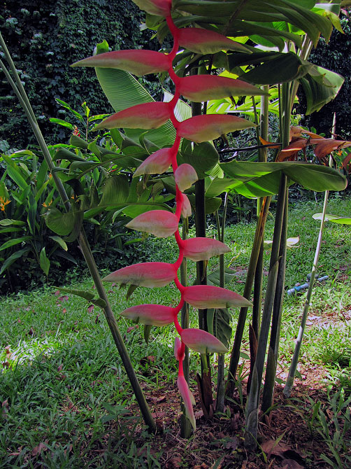 Цветок из нашего сада в Ао Нанге