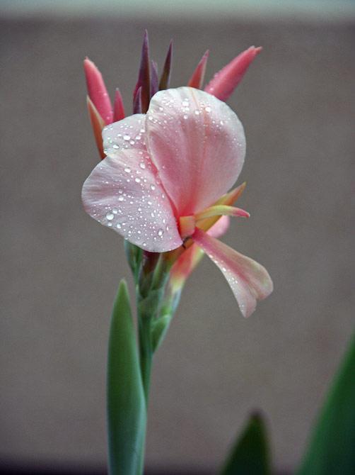 Цветок после дождя в нашем саду, Ао Нанг