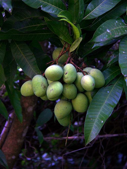 Зеленые манго у нашего дома в Ао Нанге