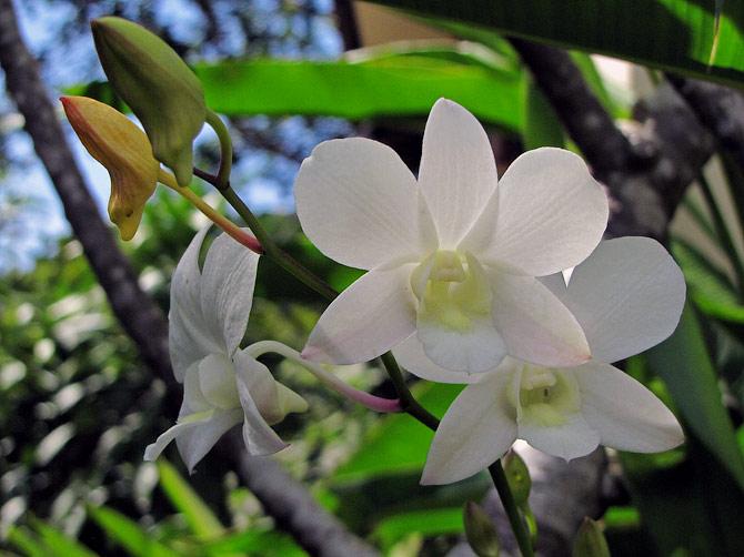 Орхидея в нашем саду в Ао Нанге