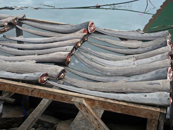 Акульи хвосты на просушке в порту Банда Аче