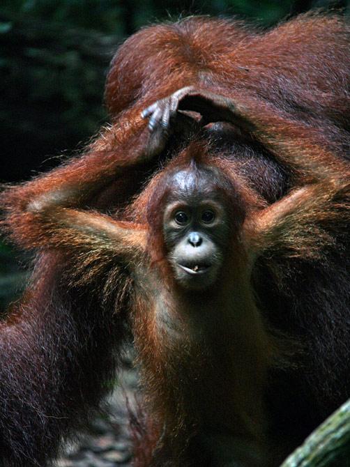Детеныш орангутанга, Букит Лаванг, Суматра, Индонезия