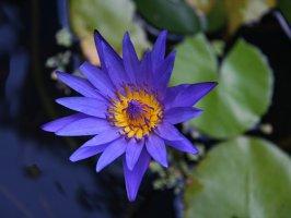 Тайська квіточка