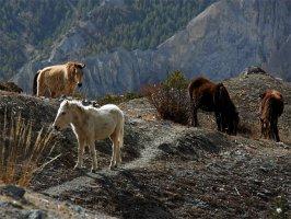 Гималайские лошадки