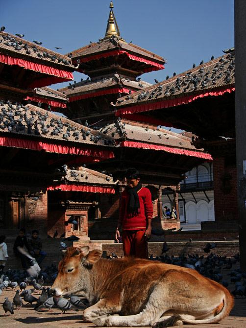 Корова у храмов на площади Дурбар, Катманду, Непал