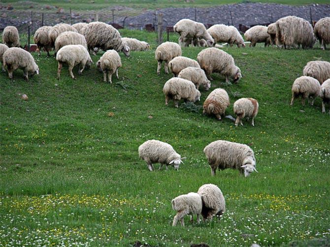 Овцы в Грузии
