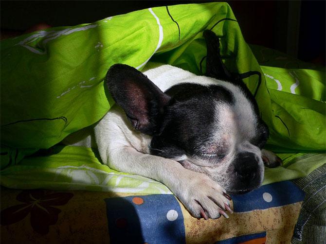 Спящая собака-Гера