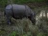 Носороги в заповеднике Читван