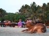 Завсегдатаи пляжей Гоа